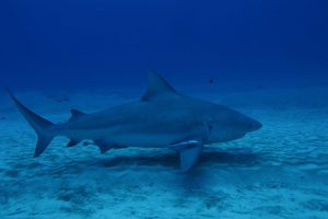 Bull sharks diving - Mexico